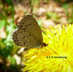 Photo of an Eastern Tailed-Blue butterfly feeding on a dandelion flower, May 18th, 2012, in Etna, Maine