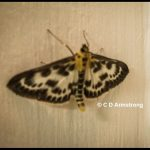 a Small Magpie moth (Anania hortulata) (photographed June 23, 2009)