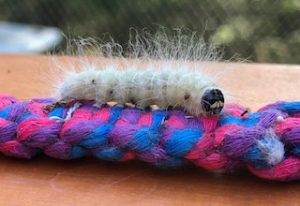 The Laugher caterpillar - Charadra deredens (photographed in Georgetown, Maine 9/12/2020)
