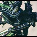 European pine sawfly larvae feeding on pine needles