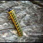 Last instar stage of a Dogwood Sawfly larva - August 9th, 2009 in Medway, Maine