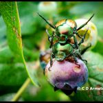 A mating pair of Japanese Beetles on highbush blueberry (Albion, Maine; 7/27/2009)