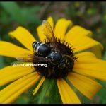 A Sand wasp in the genus Bicyrtes, resting on a Black-eyed Susan flower in Troy, Maine - July 29th, 2009. Sand wasps are solitary, non-aggressive and beneficial.