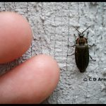 a Winter Firefly in the Ellychnia corrusca complex of species