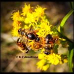 a cluster of syrphid flies feeding on narrow-leaved goldenrod pollen