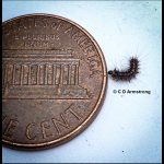 a very young gypsy moth caterpillar (2nd instar) beside a US penny