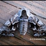 a moth called a One-eyed Sphinx (Stetson, Maine; 6/12/2012)