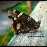 A Red Admiral butterfly (Stetson, Maine; 6/12/2012)