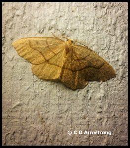 An Eastern Hemlock Looper moth - Seen on September 15th, 2019 in Stetson, Maine
