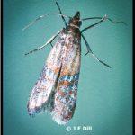 an Indian Meal Moth (closeup view)