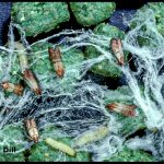 A group of Indian Meal Moth adults and larvae plus the webbing that the larvae spin.