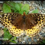 a Great Spangled Fritillary Butterfly (Boothbay, Maine; 8/26/2010)