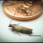 An Indian Meal Moth next to a US penny for scale purposes