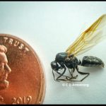 A male Carpenter Ant (males have wings for the purpose of nuptial flights)