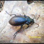 A Bronze Ground Beetle, also called a Bronze Carabid.