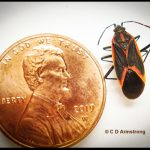 an Eastern Boxelder Bug beside a US penny for relative size purposes