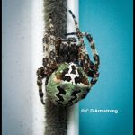 photo of a spider called a Giant Lichen Orbweaver, Araneus bicentenarius