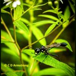 a Gold-marked Thread-waisted Wasp in Rockport, Maine - August 30th, 2020