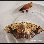 a Filament Bearer moth, also called a Horned Spanworm (shown with the empty pupa from which it emerged)