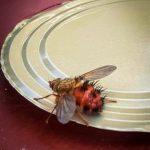 A Tachinid fly - probably Hystricia abrupta