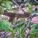 Cluster of Browntail Moth caterpillars on a crabapple tree in Waterville, Maine (May 12th, 2021) (photo by Jamie Graves)