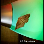 a Curve-toothed Geometer moth resting on a lamp shade in Stetson, Maine; May 14th, 2021