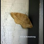 a Curve-toothed Geometer moth at the edge of a windowframe in Stetson, Maine; May 17th, 2021