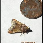 A Meal Moth in central Maine next to a US penny for size comparison