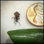 a broad-nosed weevil called a Raspberry Weevil - Otiorhynchus singularis - which is similar to a Black Vine Weevil