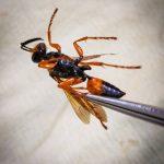 A Great Golden Digger Wasp, Sphex ichneumoneus, captured in Detroit, Maine - August 19th, 2021