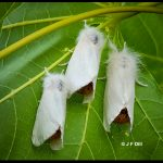 three Browntail moths - Maine; July 1st, 2021