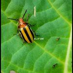 a Three-lined Potato Beetle, Lema daturaphila. (Maine; 7/20/2021)