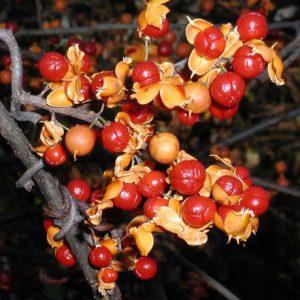 Oriental Bittersweet, Celastrus orbiculatus Thunb.