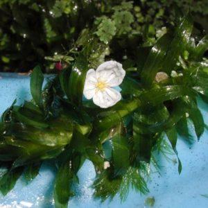 Brazilian water weed (Egeria densa