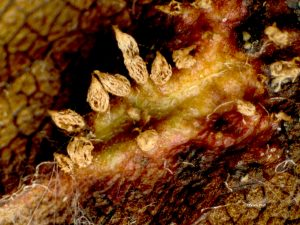Aecia on leaf underside