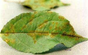 Apple scab on leaf