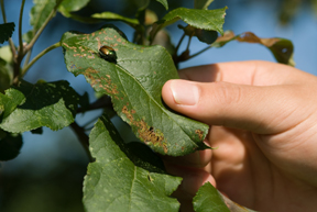 Japanese Beetle on apple tree; photo by Edwin Remsberg, USDA