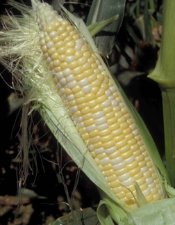 ear of sweet corn on the stalk