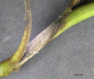Infected stem