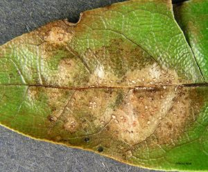 Infected leaf close up