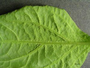Affected leaf closeup