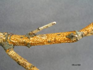 Cankered twig