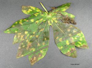 Infected (mail damaged) leaf