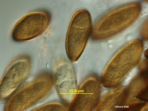 Miscellaneous samples: Conidia