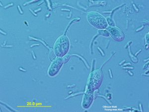 Macro-and micro conidia