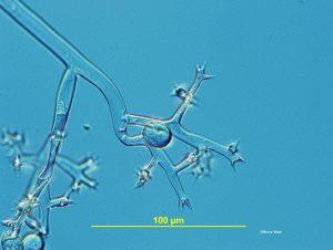 Sporangiophores