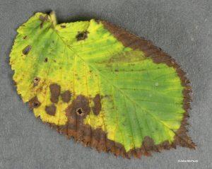 Blighted leaf