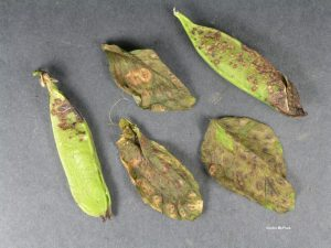 Infected leaves and pods