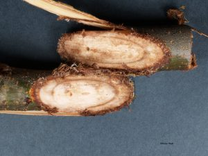 Vascular discoloration of branches