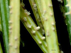 Sample 2: Aecia on needles